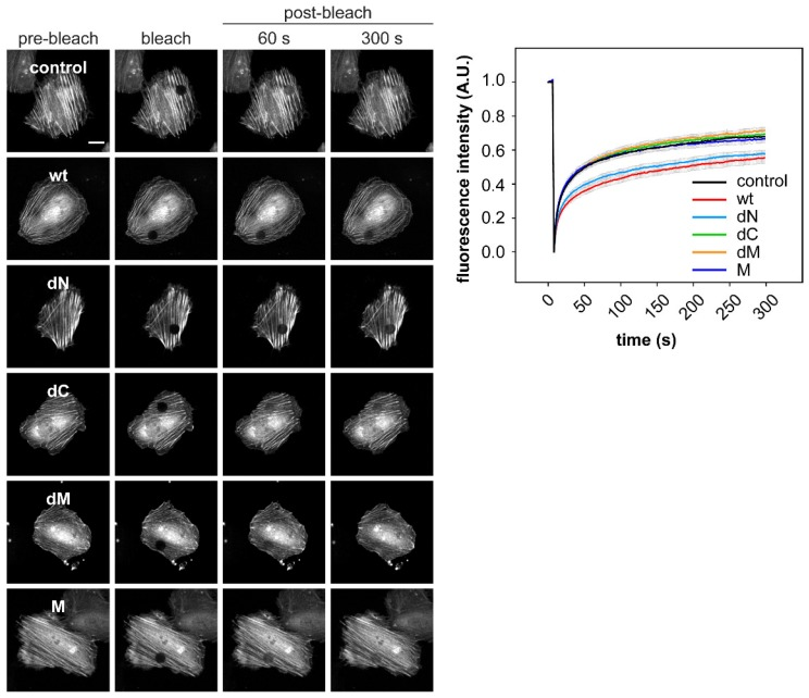 DRR1 bundling effect diminishes cellular actin treadmilling. DRR1 wt and the mutant dN—but none of the other mutants–slow down actin treadmilling in HeLa cells. Fluorescence recovery after photobleaching (FRAP) in HeLa cells co-transfected with plasmids expressing GFP-actin and untagged DRR1 wt, dN, dC, dM, and M was recorded. Representative cells are shown. Quantification was performed in ImageJ (25–30 cells from 2–3 independent experiments). Scale bar denotes 20 µm. Movies of FRAP experiments are available on request.