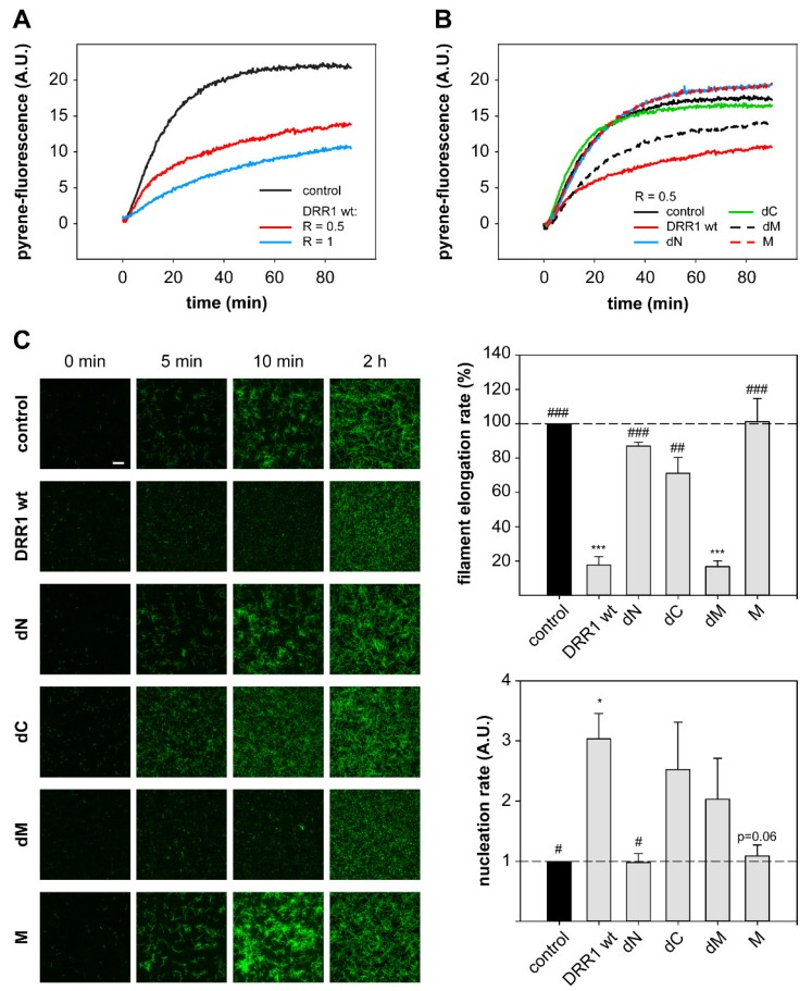 DRR1 reduces actin filament elongation but increases nucleation. ( A , B ) DRR1 and the mutant dM exert an inhibitory effect on in vitro polymerization of pyrene-actin. 20% pyrene-labeled actin (4 µM) was polymerized in the presence of wt ( A , B ) and mutant ( B ) DRR1 proteins (purified via the MBP-tag) as indicated. Increase in fluorescence of pyrene-actin during polymerization was monitored in 5 s intervals for 90 min; ( C ) Single filament elongation of actin is strongly reduced by DRR1 and the mutant dM. Actin (c = 0.5 µM, 10% labeled with ATTO-488) was polymerized in the presence of DRR1 proteins or MBP as control (R = 0.5) and visualized by TIRF microscopy for 10 min with 3 s intervals starting 2 min after the beginning of the reaction. An endpoint image was taken at 2 h of polymerization. Scale bar denotes 10 µm for all images. Bars indicating the filament elongation rate and the nucleation rate represent means + SEM of three independent experiments. */ # p