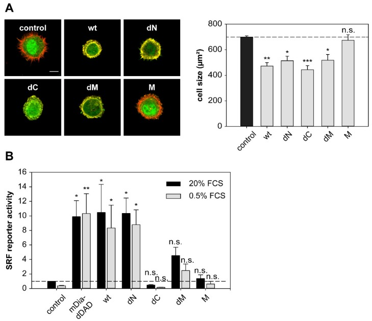 DRR1 modulates actin-dependent processes in cells. ( A ) DRR1 wt and the mutants dN, dC, and dM inhibit spreading of HeLa cells. Cells were transfected with constructs expressing EGFP-DRR1 wt or mutants (control: EGFP), cultivated for 24 h and re-plated on fibronectin-coated coverslips. After 30 min, cells were fixed and F-actin was stained with phalloidin. Representative cells are displayed (green: EGFP or EGFP-DRR1; red: F-actin). Scale bar denotes 20 µm. Bars represent mean cell sizes + SEM of four independent experiments (50–200 cells in each experiment). * p