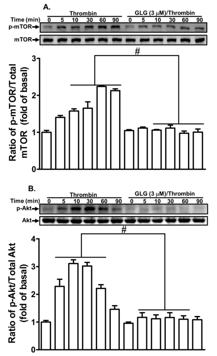 Galangin inhibits thrombin-induced phosphorylation of Akt and mammalian target of rapamycin (mTOR). The cells were pretreated with galangin (3 μM) for 1 h and then challenged with thrombin (10 U/mL) for the indicated time intervals. The levels of ( A ) mTOR and ( B ) Akt phosphorylation and their respective protein levels were determined by western blot. The data are expressed as mean ± SEM of three independent experiments. * p