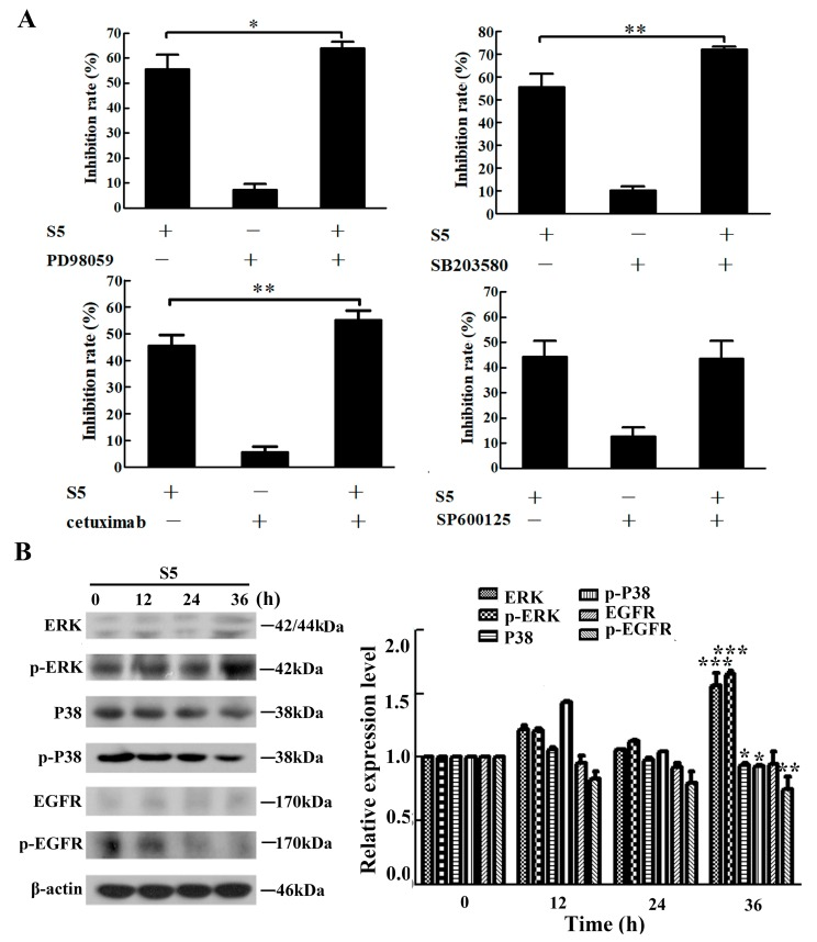 ERK, P38 and EGFR are involved in the anti-proliferation of S5 on A375 cells. ( A ) The cells were pretreated with 1.25 μM of SP600125, 5 μM of PD98059, and 5 μM of SB203580 or 40 μg/mL cetuximab for 1 h and then incubated with 40 μM of S5 for 24 h. The death rate of cells was measured using an MTT assay. ( B ) S5 affects the expression of MAPKs and EGFR proteins. The cells were lysed for protein extraction. Samples (25 μg) were subjected to 10% SDS-PAGE and western blotting for the detection of specific proteins. Results presented are the mean from three parallel experiments, n = 3, mean ± SD. * p
