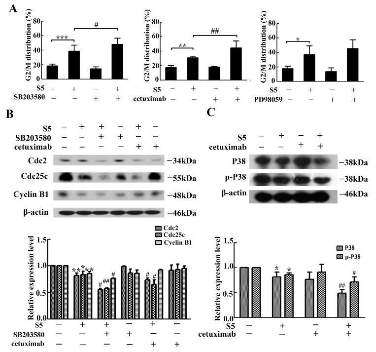 EGFR/P38 signaling pathway was involved in S5-induced cell G2/M arrest. The cells cultured with 40 μM of S5 for 36 h in the absence or presence of 5 μM of SB203580, 40 μg/mL of cetuximab or 5 μM of PD98059. ( A ) The percentage of cells in G2/M phase of the cell cycle was represented using a bar diagram. Data from a representative experiment are shown. n = 3, mean ± SD. * p