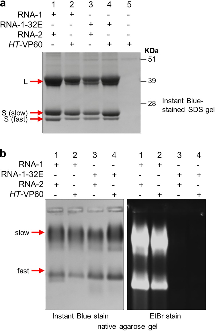 A replication-competent version of RNA-1 is necessary for RNA encapsidation. CPMV particles were purified from N. benthamiana leaves agroinfiltrated with pBinPS1NT and pBinPS2NT (lanes 1 in each gel), pBinPS1NT and pEAQ- HT -VP60 (lanes 2), pBinP32E and pBinPS2NT (lanes 3), and pBinP32E and pEAQ- HT -VP60 (lanes 4) or with pEAQ- HT -VP60 alone (lanes 5). In each case, the CPMV RNAs expressed within the leaves are indicated. The purified particles were examined by either denaturing SDS-PAGE followed by staining with Instant Blue (a) or electrophoresis on a nondenaturing agarose gel (b) followed by staining with either Instant Blue (left) to visualize protein or ethidium bromide (EtBr) (right) to visualize nucleic acid. The positions of the large (L) coat protein and two forms of the small [S (slow) and S (fast)] coat protein are indicated to the left of the gel in panel a. Note that in panel b, CPMV particles separate into distinct electrophoretic populations based on the presence or absence of the labile 24 amino acids at the C terminus of the small coat protein ( 2 ) as seen in panel a.