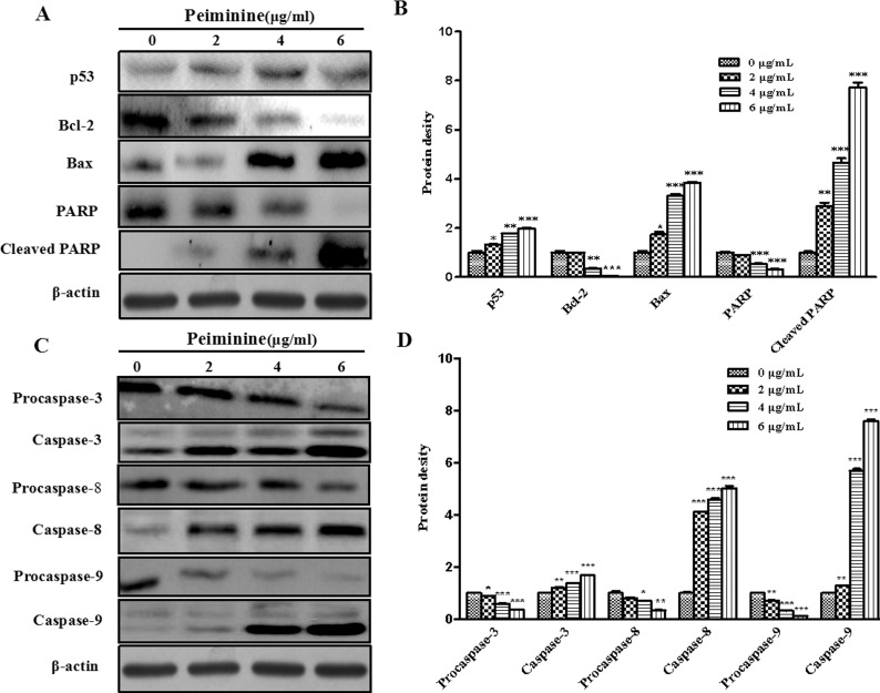 Expression of peiminine-induced proteins related to proliferation in HCC cells. (A) Expressions of p53, Bcl-2, Bax, PARP, and cleaved PARP in HepG2 cells treated with peiminine were determined by Western blot analysis. (B) Expressions of procaspase-3, -8, and -9, caspase-3, -8, and -9 in HepG2 cells treated with peiminine were determined by Western blot analysis. Data are presented as the mean±SD from three independent experiments.* p