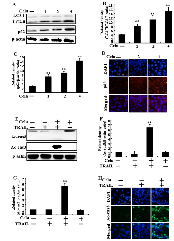 Autophagy flux is induced by cela in A549 cells. A549 cells were treated with cela (4 µM) for 12 h and then exposed to TRAIL for an additional 1 h. (A) LC3-II and p62 protein levels were assessed by western blot analysis. Bar charts indicate the (B) LC3-II/LC3-I and (C) p62/β-actin ratios. (D) Cells were immunostained with p62 (red) and evaluated using fluorescence microscopy. Scale bar=50 µm. (E) Ac-cas3 and Ac-cas8 protein levels were assessed by western blot analysis. Bar charts indicate the (F) Ac-cas8/β-actin and (G) Ac-cas3/β-actin ratios. (H) Cells were immunostained with Ac-cas3 (green) antibody and evaluated using fluorescence microscopy. Scale bar=50 µm. β-actin was used as a control. **P