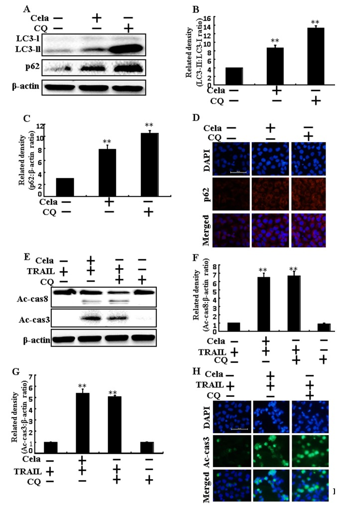 Cela induces a promotion of the TRAIL-initiated apoptotic mechanism by attenuating autophagy flux. A549 cells were pretreated with CQ prior to exposure to cela (4 µM) for 12 h and then exposure to TRAIL for an additional 1 h. (A) LC3-II and p62 protein levels were assessed by western blot analysis. Bar charts indicate the (B) LC3-II/LC3-I and (C) p62/β-actin ratios. (D) Cells were immunostained with p62 (red) and evaluated using fluorescence microscopy. Scale bar=50 µm. (E) Ac-cas3 and Ac-cas8 protein levels were assessed by western blot analysis. Bar charts indicate the (F) Ac-cas8/β-actin and (G) Ac-cas3/β-actin ratios. (H) Cells were immunostained with Ac-cas3 (green) antibody and evaluated using fluorescence microscopy. Scale bar=50 µm. β-actin was used as a control. **P