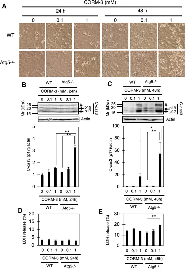 CORM-3 induces the death of MEFs. (A and B) MEFs were treated with the indicated concentrations (0, 0.1, or 1 mM) of CORM-3 for 24 or 48 hours (A), and the relative levels of p17 fragment of cleaved-caspase-3 to actin (B and C) as well as LDH release into the medium (D and E) are shown. #, uncharacterized fragment. Data represent the means and S.E. *, p
