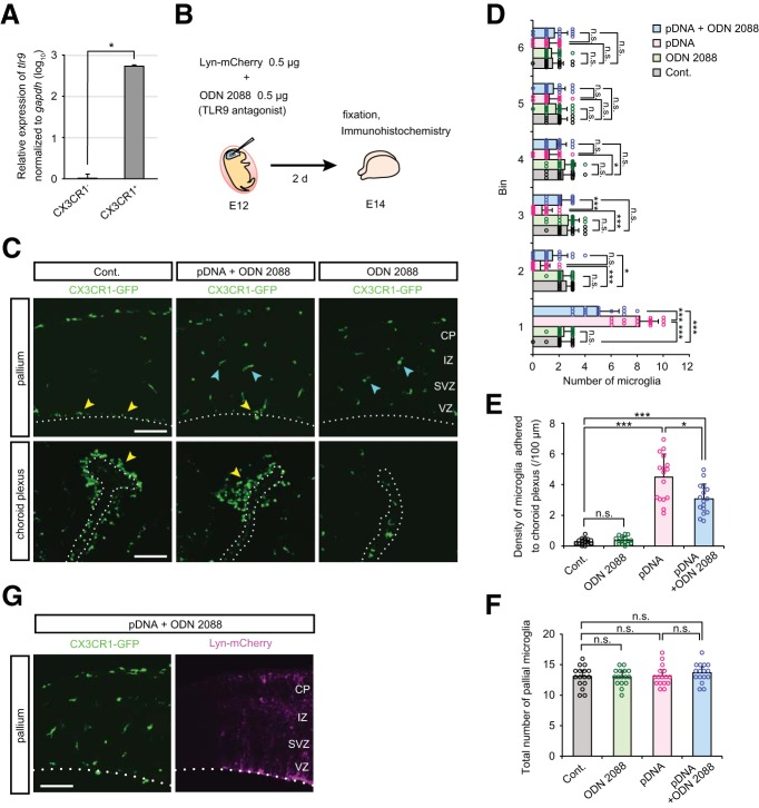Intraventricular administration of TLR9 antagonist decreases microglial infiltration induced by plasmid DNA injection. A , Relative expression of TLR9 (normalized against GAPDH ) in FACS-isolated CX3CR1 - and CX3CR1 + cells derived from the cerebral wall of E14 CX3CR1-GFP mice. Data represent mean ± SD ( n = 4 samples obtained from independent experiments; p = 0.0286, Mann–Whitney U test). B , Experimental design for ODN 2088 treatment. ODN 2088 was injected together with plasmid DNA into the lateral ventricle of E12 CX3CR1-GFP mice, and after 2 d (E14) the embryonic brains were fixed. C , Immunofluorescence with anti-GFP antibody, showing the distribution of microglia in the pallium and choroid plexus. Yellow arrowheads indicate microglia aberrantly accumulated on the apical surface of the pallium or in the choroid plexus. Cyan arrowheads show microglia which were almost homogenously distributed in the cerebral wall. Scale bar, 100 µm. D , E , Graphs indicate the number of CX3CR1-GFP + cells in each 40 µm bin of the pallium ( D ) and density of microglia directly adhered to the choroid plexus ( E ), comparing control, only ODN 2088-treated, plasmid DNA-injected, and plasmid DNA + ODN 2088 coinjected brains. F , Graph showing the total number of pallial microglia within 240 µm from the apical surface. G , Double-immunofluorescence for GFP (CX3CR1) and RFP (Lyn-mCherry) in the cortex of IUE E14 brain treated with ODN 2088. Microglia exhibited a normal distribution pattern in the Lyn-mCherry expressing region where IUE succeeded ( Movies 1 ). Scale bar, 100 µm. For statistical analyses in D – F , n = 16 samples obtained from eight embryos (2 sections, each) were quantified. Two or three littermates per dam were subjected to a series of tests. Data represent mean ± SD. *** p