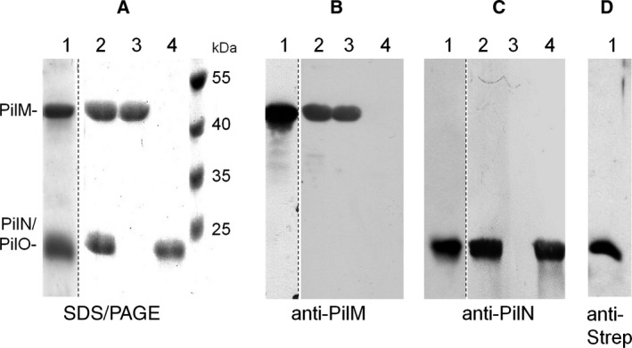 Purification of PilMNO, PilMN, PilM, and PilN. His 6 ‐PilMNO‐Strep (lane 1), His 6 ‐PilMN‐Strep (lane 2), His 6 ‐PilM (lane 3), and PilN‐Strep (lane 4) were purified from Escherichia coli BL21 (DE3) cells as described in Experimental procedures . PilMNO, PilMN, and PilN were isolated from membranes, whereas PilM was isolated from soluble fractions. To separate His 6 ‐PilM (44 kDa), PilN (23 kDa), and PilO‐Strep (22.5 kDa), 4–20% SDS/PAGE was performed (lane 1). All other protein preparations were separated by 14% SDS/PAGE (A). The identity of the proteins was confirmed by western blot using polyclonal antisera against PilM (B) and PilN (C) or using Strep‐Tactin HRP conjugate to detect PilO‐Strep (D). Dotted lines indicate excised lanes from different but comparable gels or blots.