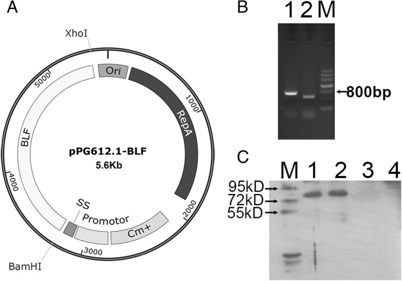 Construction and expression of the secretion plasmid pPG612.1-BLF in L.casei . a The synthetic BLF gene fragment (2.1kp) was digested with restriction enzymes BamHI and XhoI, and ligated into the sticky end of the plasmid pPG612.1 which was also digested with the same restriction enzyme, resulting in the plasmid pPG612.1-BLF (5.6kp). b The plasmid pPG612.1-BLF was electroporated into L.casei using a BioRad GenePulser with single electric pulse (voltage, 1.5 kV; capacitance, 25 μF; and resistance, 400 Ω.). PCR amplification of the BamHI site and XhoI site of the plasmid pPG612.1-BLF which was extracted from the L.casei /pPG612.1-BLF strain resulted in 500 bp and 800 bp products, respectively. Lane 1, PCR product of XhoI site; Lane 2, PCR product of BamHI site. M, DNA maker. c BLF was detected in the supernatant and pellet of L.casei /pPG612.1-BLF culture by Western blotting, indicating the expression and secretion of BLF by L.casei /pPG612.1-BLF. Lane 1, supernatant of L.casei /pPG612.1-BLF culture; Lane 2, pellet of L.casei /pPG612.1-BLF culture; Lane 3, supernatant of L.casei /pPG612.1 culture; Lane 4, pellet of L.casei /pPG612.1 culture