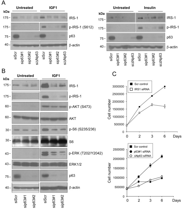 D epletion of p63 reduces the responsiveness of HNSCC cells to ligand stimulation. ( A ) Fadu cells were transfected with siScr or different p63 (sip63#1, sip63#2, siΔNp63) siRNAs. Forty-eight h after transfection, cells were serum starved for 4 h, and then stimulated with 5 nM IGF1 (upper panel) or 500 ng/ml insulin (lower panel) for 10 min. Protein amounts of p63, IRS1 and p-IRS1 were detected by western blot analysis. β-actin served as loading control. Blots are representative of three individual experiments. ( B ) Fadu cells were transfected with siScr, sip63#1 and sip63#2, serum starved for 4 h and then stimulated with 5 nM IGF1 for 10 min. Cellular extracts were analysed with the following antibodies: anti-IRS1, anti-p-IRS1, anti-p-AKT, anti-AKT, anti-p-S6 Ribosomal Protein, anti-S6, anti-p44/42 MAPK (p-ERK1/2), anti-ERK1/2, p63 and β-actin as loading control. Blots are representative of three individual experiments. ( C ) Fadu cells were transfected with siScr or siIRS1 (upper panel) and with sip63#1, ΔNp63, or siScr (lower panel). Forty-eight h after transfection, cells were seeded in 6-cm plates at 500,000/plate and growth was followed until day 6.