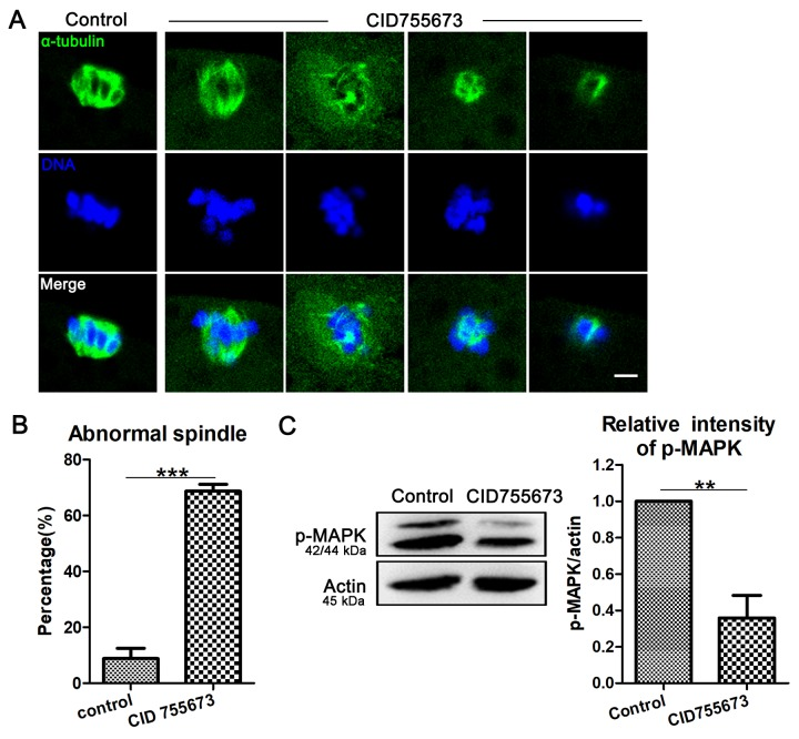 Effects of <t>PKD</t> inhibition on meiotic spindle configurations and chromosome alignment. ( A ) Representative images of spindle (green) morphologies and chromosome (blue) alignment in the oocytes from control and CID755673 treatment groups. It showed a typical barrel-shaped spindles and well aligned chromosomes in control oocytes; while, unfocused or tripolar poles spindles with agglutinative/scattered chromosomes were successively showed in PKD inhibition groups. Green,α-tubulin; blue, DNA; Bar = 5 μm. ( B ) The percentage of spindle/chromosome defects were recorded in control and CID755673-treated oocytes. ( C ) Protein levels of <t>p-MAPK</t> in control and CID755673 treatment oocytes were determined by western blotting. Data are presented as mean ± s.d. from at least three independent experiments. **, significant difference ( P