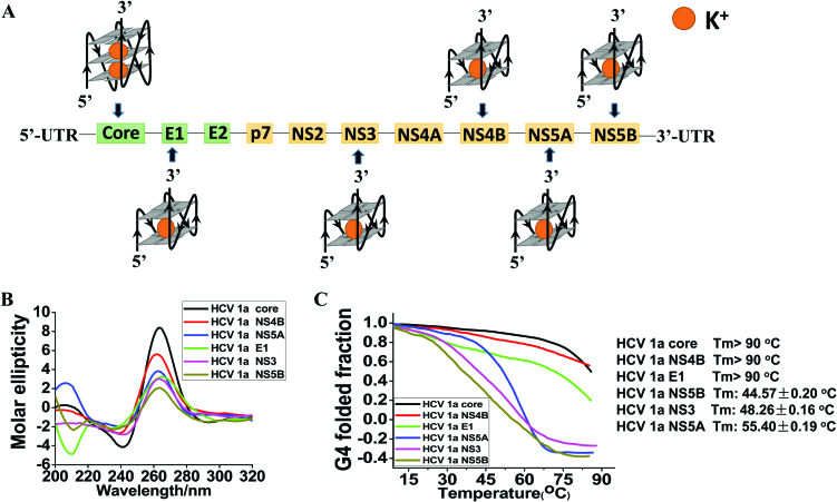 Six representative conserved PQS sites, CD and Tm melting curves. ( A ) Six conserved PQS (core/E1/NS3/NS4B/NS5A/NS5B) sites of the <t>HCV</t> 1a H77 genome. ( B ) Synthetic <t>RNA</t> PQS samples (8.0 μM) annealed in 10 mM Tris–HCl buffer (pH 7.0) containing 100 mM KCl were heated to 90°C and cooled to RT at a rate of 1°C min –1 . The CD spectra were recorded at 25°C with a scan range from 320 to 200 nm. ( C ) The T m thermal stability of each G4 RNAs was measured by recording the molar ellipticity at 264 nm as a function of temperature. Tm values for each oligonucleotide were calculated as described in Materials and Methods.