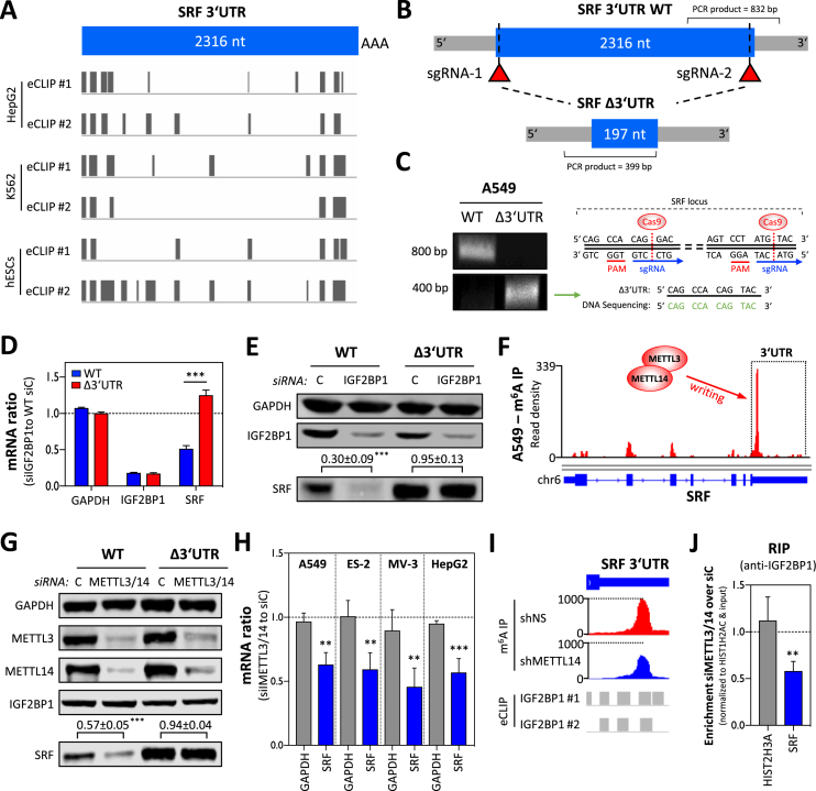 IGF2BP1 promotes SRF expression in a 3′UTR and m 6 A-dependent manner. ( A ) Schematic depicting the position of IGF2BP1-CLIP sites reported in the SRF 3′UTR by six experiments performed in three indicated cell lines. ( B ) Schematic showing the SRF-3′UTR deletion strategy by CRISPR/Cas9. The relative position of sgRNAs and PCR primers for validating deletion of the SRF 3′UTR are indicated. ( C ) Representative semi-quantitative PCR analysis (left panel) of parental (WT) and SRF-3′UTR-deleted (Δ3′UTR) A549 cells. The successful deletion was further validated by DNA sequencing (right panel) of PCR products (Δ3′UTR) spanning the expected cleavage sites indicated in the schematic. ( D ) RT-qPCR analysis of indicated mRNAs in parental and SRF-Δ3′UTR A549 cells upon IGF2BP1 depletion (72 h). RPLP0 served as the normalization and GAPDH as the negative control. ( E ) Representative western blot analysis of indicated proteins in cells treated as described in (D). GAPDH served as the loading and normalization control for the quantification ( n = 3) of SRF protein levels upon IGF2BP1 depletion (relative to controls), as depicted above lower panel. ( F ) m 6 A -RIP-seq data showing m 6 A-modification of the SRF mRNA in A549 cells. Sequencing data were obtained from MeT-DB V2.0 ( 45 ). ( G ) Representative western blot analysis of indicated proteins upon METTL3/14 depletion in parental (WT) and SRF-Δ3′UTR A549 cells. Note that IGF2BP1 expression is unaffected by METTL3/14 depletion, whereas SRF protein abundance is decreased only in parental A549 cells. GAPDH served as the loading and normalization control for the quantification ( n = 3) of SRF protein levels (relative to controls), as indicated in the lower panel. ( H ) The depletion of METTL3/14 by siRNA pools impairs SRF mRNA abundance in indicated cell lines. GAPDH served as the negative control in RT-qPCR studies cross-normalized to RPLP0 expression. ( I ) Altered m 6 A-modification of the SRF 3′UTR was determined upon MET