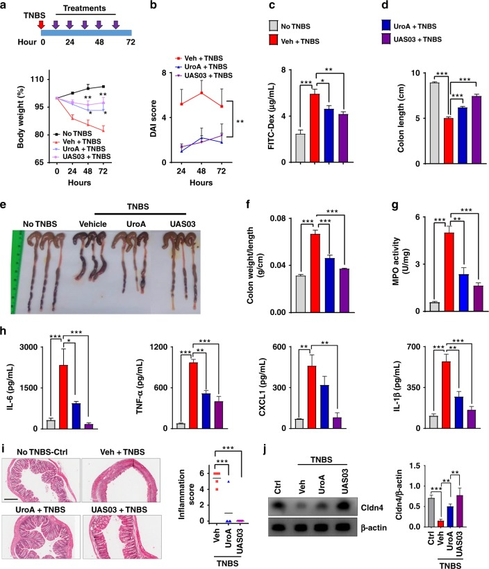 UroA/UAS03 treatment attenuates TNBS-induced colitis in mice. Colitis was induced by intrarectal administration of TNBS (2.5 mg/mouse) in C57BL/6 (8 week age old, n = 5/group) mice. Mice were orally treated with vehicle or UroA (20 mg/kg) or UAS03 (20 mg/kg body weight) every 12 h post-TNBS instillation for 60 h and the experiment terminated at 72 h. Representative data from one of three independent experiments is shown. a Percent body weight loss (No TNBS- Solid black line; Veh + TNBS- Solid red line; UroA + TNBS- Solid blue line; UAS03 + TNBS- Solid purple line). b disease activity index, c intestinal permeability, d colon lengths were measured. e Gross morphological changes of colon, f ratio of colon weight/length, g colonic myeloperoxidase (MPO) levels, h serum IL-6, TNF-α, CXCL1, and IL-1β levels, i microphotographs of hematoxylin and eosin (H E) stained sections of colons and inflammation scores are shown. Scale bar indicates 300 μm. j Cldn4 expression in the colons of these mice ( n = 3) was measured by immunoblots and quantified. Statistical analysis was performed (unpaired t -test) using Graphpad Prism software. Error bars, ±SEM *** p