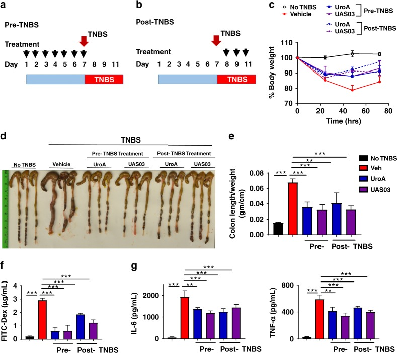 UroA/UAS03 prevent TNBS-induced colitis and sustain beneficial barrier activities. a Pre-TNBS treatment. Male C57BL/6 mice ( n = 5 per group at 7–8 week old age) were given orally vehicle (Veh; 0.25% sodium carboxymethylcellulose) or UroA or UAS03 (20 mg/kg/bodyweight) daily for one week followed by rectal administration of TNBS to induce colitis. These mice did not receive any treatment post-TNBS administration. Mice were euthanized 72 h post-TNBS administration and characterized. b Post-TNBS treatment. Another set group of C57BL/6 mice ( n = 5 per group at 7–8 week old age) received Veh or UroA or UAS03 (20 mg/kg) 24, 48, and 72 h post-TNBS. c Percent body weight loss was recorded after TNBS-administration. (No TNBS- Solid black line; Veh + TNBS- Solid red line; Pre-TNBS + UroA- Solid blue line; Pre-TNBS + UAS03- solid purple line; Post-TNBS + UroA- dashed blue line; Post-TNBS + UAS03- dashed purple line). d Representative colon images of control (no TNBS) along with vehicle/UroA/UAS03 treated mice from pre- and post-treatment groups. e Ratio of colon weight/length, f intestinal permeability was evaluated using FITC-dextran leakage assay. g Serum levels of IL-6 and TNF-α were measured using standard ELISA methods. Statistical analysis was performed (unpaired t -test) using Graphpad Prism software. Error bars, ±SEM *** p