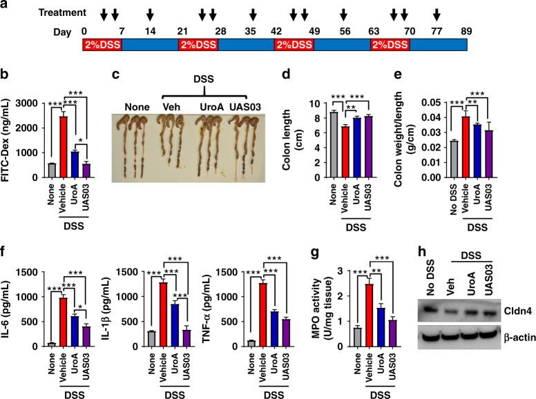 Treatment with UroA/UAS03 mitigate DSS-induced chronic colitis. a C57BL/6 mice (7–8 week age old) were treated with four cycles of DSS (2%) with 7 days/cycle with an interval of 14 days with regular water. Control group of mice ( n = 5) received the regular water without DSS. UroA/UAS03 (20 mg/kg/day/body weight) that was resuspended in 0.25% sodium carboxymethylcellulose (CMC) solution ( n = 9) or vehicle (CMC) ( n = 9) was administered on 4th and 6th day of each DSS cycle and one treatment while on regular water. n = 5/control; n = 9/veh and UroA; n = 8/UAS03 group) Mice were euthanized at day 89 and the colitis phenotype was characterized. b Intestinal permeability using FITC-dextran was evaluated. c Representative colon images d colon lengths, e ratios of colon weight/length are shown. f Serum levels of IL-6, IL-1β, and TNF-α were measured using ELISA methods. g MPO levels were determined in colon tissues. h Cldn4 expression in the colons of these mice ( n = 3) was measured by immunoblots. Statistics performed using unpaired t -test using Graphpad Prism software. Error bars, ±SEM *** p