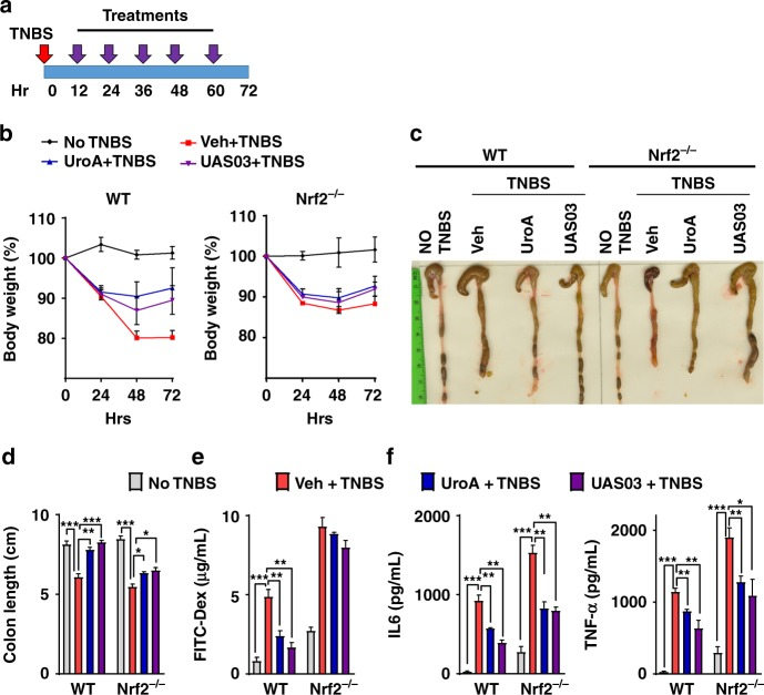 UroA/UAS03 utilize Nrf2 pathways to mitigate colitis. a–e Colitis was induced using TNBS in C57BL/6 (WT) and Nrf2 −/− mice ( n = 4–5/group 7–8 week old age). Mice were treated with Veh or UroA/UAS03 (20 mg/kg bodyweight) every 12 h post TNBS administration ending at 72 h. Representative data from two independent experiments is shown. a TNBS-induced colitis experimental design and treatment regimen. b Percent body weight loss (No TNBS- Solid black line; Veh + TNBS- Solid red line; UroA + TNBS- Solid blue line; UAS03 + TNBS- Solid purple line), c representative colon images, d colon lengths, e gut permeability, f serum levels of IL-6 and TNF-α were determined. Statistical analysis was performed (unpaired t -test) using Graphpad Prism software. Error bars, ±SEM *** p