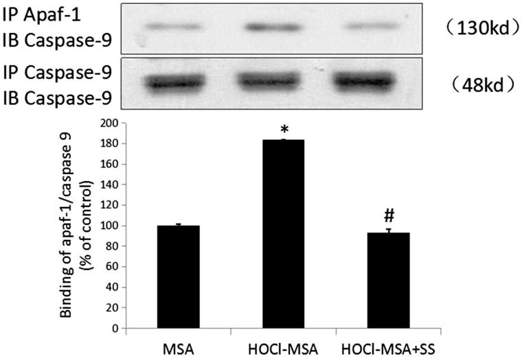 HOCl-MSA promoted binding of apaf-1 and caspase 9, which was prevented by SS-31 in cultured podocyte. Data are expressed as Mean ± SD. ANOVA,  p
