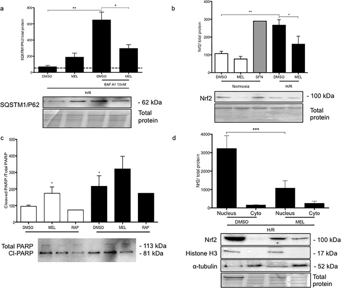 Melatonin reduces autophagy turnover thereby increasing BeWo cell vulnerability to H/R. BeWo cells were exposed to normoxia (8% O 2 ; 5% CO 2 ; 87% N 2 ) or hypoxia (4 h) /reoxygenation (20 h) (H/R) (0.5% O 2 ; 5% CO 2 ; 94.5% N 2 ). (A) Sequestosome-1, SQSTM1/P62, protein expression was detected by <t>immunoblotting</t> using a polyclonal antibody in BeWo cells exposed to H/R. Cells were treated with dimethyl sulfoxide (DMSO) 0.1% or 1 mM melatonin (MEL) for 24 h. Cells were also treated with BAF A1 (10 nM) during the last 2 h of BeWo cell culture. (B) Nrf2 protein expression was detected by immunoblotting using a polyclonal antibody in BeWo cells exposed to normoxia or H/R. Sulforaphane 10 μM was added to BeWo cells for 24 h as an Nrf2 inducer. (C) Relative optical density of the carboxy-terminal catalytic domain of the poly (ADP-ribose) polymerase (PARP), which was cleaved between the Asp214 and Gly215 was normalized with total PARP. Both cleaved PARP and PARP1 were detected by immunoblotting using a polyclonal antibody. (D) The nuclear and the cytosolic contents of the Nrf2 protein of BeWo cells exposed to H/R were detected by immunoblotting. Histone H3 and α-tubulin were used as protein markers of the purity of nuclear and cytosolic fractions, respectively. Representative blots are shown below the graphs and the relative molecular mass (kDa) is indicated to the right of the blot. Total protein amounts were measured by staining with MemCode reversible protein stain. Data shown are mean ±SD and were analyzed using ANOVA, followed by Student-Newman-Keuls (A, B, C) or Student's t -test (D) (* p