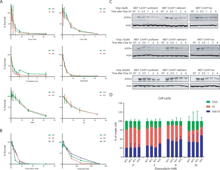 Sensitivity of primary and transformed cells to DNA damaging agents in the presence and absence of C9orf82 protein. (A) Relative survival of pre-B cells from wild type and C9orf82 ko/ko mice upon exposure to increasing doses of UVC, cisplatin, MMS, γ-irradiation, doxorubicin and <t>etoposide</t> was analyzed. (B) Colony survival rate of transformed MEFs from wild type and C9orf82 ko/ko mice upon exposure to Doxorubicin and Etoposide was compared. (C) Recovery from DNA damage response. The recovery rate from γH2AX generated in Tp53kd transformed MEFs in response to etoposide induced DSBs are compared. (D) Cell cycle analysis and relative contribution of sub-G, G1, and S/G2 of pre-B cells from the indicted genotypes.