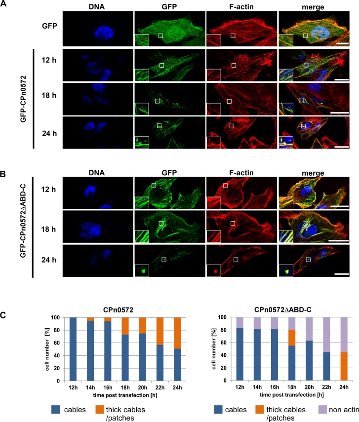 CPn0572ΔABD-C colocalizes with actin in mammalian cells. Confocal images of cells transfected with plasmids encoding GFP or GFP-CPn0572 (A) or GFP-CPn0572ΔABD-C (B) . HEp-2 cells were transfected with indicated plasmids for 12, 18, or 24 h and F-actin was visualized with phalloidin (red) and DNA with DAPI (blue). Scale bar: 10 μm. Boxed regions show 3-fold enlargement. (C) Quantification of GFP-CPn0572 and GFP-CPn0572ΔABD-C-derived phenotypes after transfection, monitored every 2 h (range: 12 to 24 h). n ≥ 100 cells per time point and per transfected plasmid. All quantifications were reproducible and analyzed from triplicates.