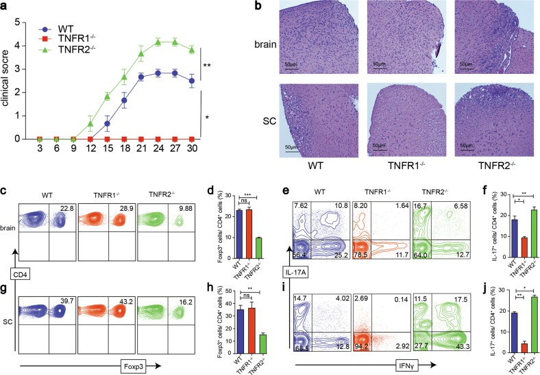 The effect of TNFR1 and TNFR2 on Treg, Th1, Th17 cells in EAE mouse model. a EAE model were induced on WT, TNFR1 −/− , and TNFR2 −/− Foxp3-reporter mice, the clinical symptom scores were evaluated blindly. b 30 days after the first immunization, part of the brain and spinal cord were stained with H E (×100, scale bars = 50 μm). c , d , g , h The proportions of Treg cells in brain and spinal cord (SC) were detected by FACS. e , f , i , j The proportions of Th1 and Th17 cells in brain and spinal cord were detected by FACS. * P ≤ 0.05; ** P ≤ 0.01; *** P ≤ 0.001, error bars denote SD. Representative data is from six independent experiments