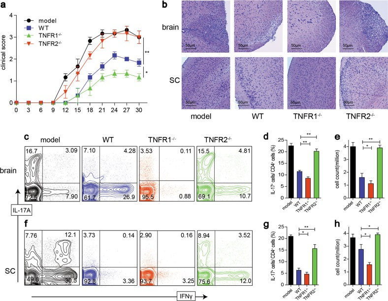 rmTNFα enhances iTreg suppressive function via TNFR2 in vitro and TNFR2 mediated the suppressive capability of iTreg in vivo. a EAE was induced on WT mice. 9 days after the first immunization, iTreg derived from WT, TNFR1 −/− , and TNFR2 −/− mice were adoptively transferred into EAE model, respectively. The clinical scores were monitored. b 30 days after the first immunization, the brain and spinal cord (SC) were subjected to H E staining (×100, scale bars = 50 μm). Foxp3, IL-17A, and IFN-γ expression in brains ( c – e ) and SC ( f – h ) were detected. * P ≤ 0.05; ** P ≤ 0.01, error bars denote SD. Representative data is from six independent experiments