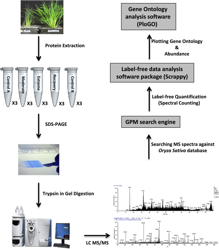 Workflow of label free quantitative shotgun proteomic analysis. Proteins extracted from rice leaves were separated by SDS-PAGE. After trypsin digestion, the resulting peptides were analysed by <t>nanoLC-MS/MS</t> on an <t>LTQ-XL</t> linear ion trap mass spectrometer. The raw files acquired from the mass spectrometer were converted into mzXML files and searched against the rice database using the GPM software. The outputs from the GPM search were further processed using the Scrappy software package to calculate normalized spectral abundance factors. The Gene ontology (GO) annotation of differentially expressed proteins was extracted from the UniProt database and matched to the list of reproducibly identified proteins using PloGo.