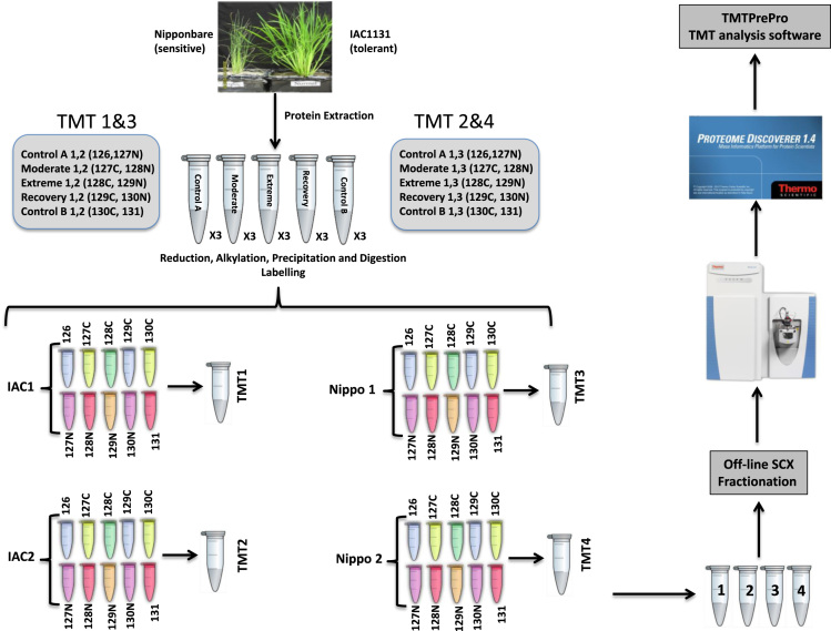 Workflow of TMT quantitative shotgun proteomic analysis. Proteins extracted from rice leaves were reduced, alkylased, precipitated and digested before being labelled with Tandem Mass Tags. Labelled samples were pooled, fractionated by SCX and then analysed on a Q Exactive Orbitrap mass spectrometer. Raw data generated from the mass spectrometer were processed using Proteome Discover v1.4 and Mascot. The search results were further analysed by the TMTPrePro software package.