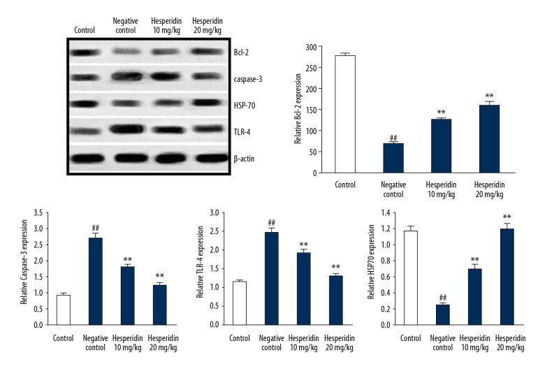 Effect of hesperidin on the expression of Bcl-2, caspase-3, TLR-4, and HSP70 protein in the lung tissue of CLP-induced lung injury mice. Mean ±SEM (n=6). ## p
