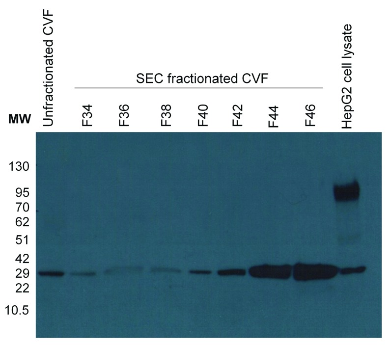Validation of TMPRSS1D in cervical-vaginal fluid (CVF). TMPRSS11D is detected in unfractionated CVF and in F42-F46 of SEC fractionated CVF corresponding with the proteolytic activity visualized with the ABP in the low MW band. <t>HepG2</t> cell lysate is included as a positive control.