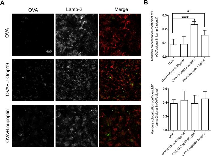 U-Omp19 co-delivery induces antigen accumulation at enterocytes lysosomes. Confocal scanning microscopy analysis of Caco-2 cells treated with OVA–Alexa Fluor 647 (25 μg/ml) alone or plus U-Omp19 (25 or 50 μg/ml) and Leupeptin (10 μg/ml). After 3 h of incubation cells were fixed, permeabilized, and stained with mAb anti–human Lamp-2. Anti-mouse IgG coupled to Alexa Fluor 546 (red) was used as secondary Ab. Images are representative of most cells examined by confocal microscopy. The merge between Lamp-2/OVA is shown. Quantification of colocalization OVA/Lamp-2 (M1) and Lamp-2/OVA (M2) was analyzed by Manders overlap coefficient. Data are means of Manders coefficients ± SEM present in 4–5 images of each condition. Scale bars 20 μm. * p