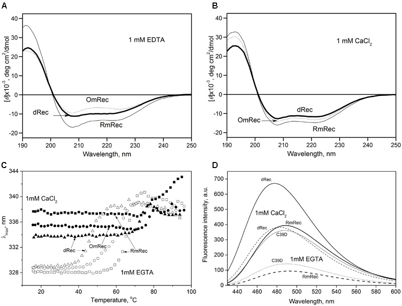 Structural properties of recoverin forms. (A,B) Far-UV CD spectra of Ca 2+ -free (A) or Ca 2+ -loaded (B) RmRec (4 μM, solid curves), OmRec (4 μM, dotted curves) and dRec (2 μM, thick solid curves) at 20°C, pH 8.2. (C) Thermal dependencies of fluorescence spectrum maximum position for Ca 2+ -free (open symbols) and Ca 2+ -loaded (filled symbols) RmRec (14 μM, squares), OmRec (14 μM, circles) and dRec (7 μM, triangles) samples at pH 7.3. (D) The binding of bis-ANS (1 μM) to Ca 2+ -free (dashed curves) or Ca 2+ -loaded (solid curves) RmRec (6 μM, medium curves), C39D mutant (6 μM, thin curves) and dRec (3 μM, thick curves) monitored by fluorescence emission spectrum of the dye at 20°C, pH 7.3.