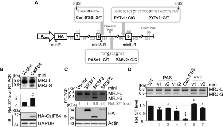 CstF64 Modulates Alternative 3′ End Processing of MRJ (A) Diagram showing the MRJ minigene spanning exons 7 to 9 of the human MRJ gene with truncated introns. Arrows depict the primers used for RT-PCR of minigene MRJ-L or MRJ-S transcripts ( Table S1 ), 5′ splice site (5′SS) alteration, and SNP-derived mutations that were downstream of the proximal PAS or within the polypyrimidine tract (PYT). (B) HEK293T cells were co-transfected with the MRJ minigene and the empty or HA-tagged CstF64-expression vector. RT-PCR was performed using the indicated primers (arrows) followed by Southern blotting (see Materials and Methods ). Bar graph indicates the fold increase of minigene MRJ-S to total MRJ (T) in the CstF64 transfection. Immunoblotting (IB) was performed by using anti-HA and anti-GAPDH antibodies. (C) HEK293T cells were cotransfected with the MRJ minigene and the empty or expression vector encoding HA-tagged SRSF1, SRSF2, or SRSF3. Relative fold changes of minigene MRJ-S to total MRJ (T) are indicated below the gel. Immunoblotting was performed with anti-HA and anti-actin (alternative name ACTB). (D) HEK293T cells were transfected with the wild-type or mutant MRJ minigene vectors. Bar graph is as described in (B). For (B) and (D), mean values were obtained from three independent experiments. *p ⩽ 0.05; **p ⩽ 0.01; ***p ⩽ 0.001.