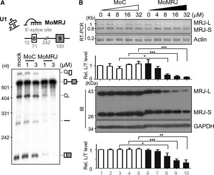 MoMRJ Suppresses MRJ-L Expression (A) Diagram showing the MRJ pre-mRNA substrate containing exons 8 and 9 and an internally truncated intron 8. The antisense morpholino was complementary to the 5′ splice site of MRJ intron 8. In vitro splicing of 32 P-labeled MRJ pre-mRNA was performed in HeLa cell nuclear extract. MoMRJ or the negative control morpholino (MoC) was added into the reactions (mock, without morpholino). Pre-mRNA and splicing intermediates and products are depicted at the right of the gel. (B) HEK293T cells were treated with different amounts of MoMRJ or control MoC in serum-free medium for 24 hr. RT-PCR and immunoblotting were performed to determine the RNA and protein levels, respectively, of MRJ isoforms. Bar graphs indicate relative ratios of MRJ-L to total MRJ (T); data were obtained from three independent experiments. *p ⩽ 0.05; **p ⩽ 0.01; ***p ⩽ 0.001.