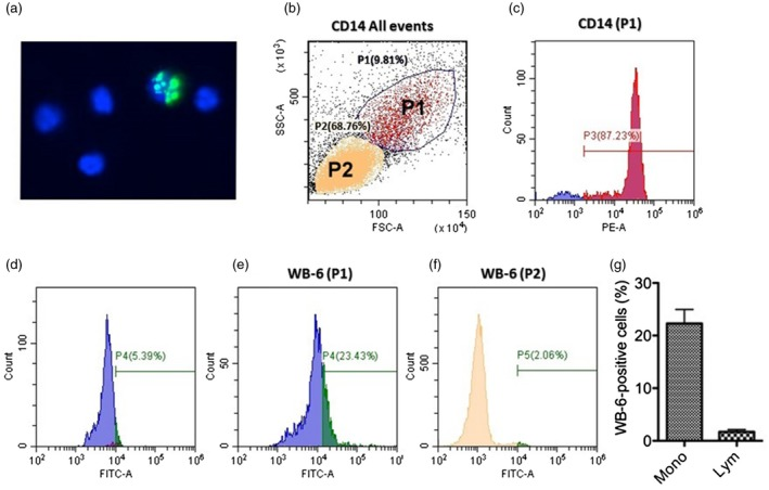 Internalization of WB‐6 into living peripheral blood mononuclear cells (PBMCs). (a) PBMCs from healthy volunteers were incubated with WB‐6 for 2 h and internalized antibody was detected as described in Fig. 2 . A representative immunofluorescence image showing that WB‐6 entered only a small fraction of PBMCs. (b) In flow cytometric analysis, forward‐ and side‐scatter plot of PBMCs showed two populations of the cells, designated P1 and P2, representing monocytes and lymphocytes, respectively. (c) Most of the cells in the P1 gate were confirmed to be CD14 + . (d–f) Representative histograms showing the ratio of Alexa Fluor 488‐positive cells after 2 h incubation of PBMCs with isotype‐matched IgG in the gate P1 (d), WB‐6 in the gate P1 (e) and WB‐6 in the gate P2 (f). (g) The ratio of Alexa Fluor 488‐positive cells in the gate P1 (Mono) and gate P2 (Lym). Data show a representative of three independent experiments with similar results, and the mean ± standard error of the mean (s.e.m.) of triplicate assay.