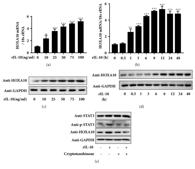 IL-10 increases HOXA10 expression via phosphorylation of STAT3. The expression of HOXA10 mRNA and protein was examined by qRT-PCR and western blotting in Ishikawa cells treated with different concentrations of rIL-10 for 12 h ((a) and (c)) or with 100 ng/mL rIL-10 for different times ((b) and (d)). The expression levels of STAT3, p-STAT3, and HOXA10 were examined by western blotting in Ishikawa cells treated with 4.6 μ M cryptotanshinone for 24 h, followed by 100 ng/mL rIL-10 for 12 h, or in controls (e).