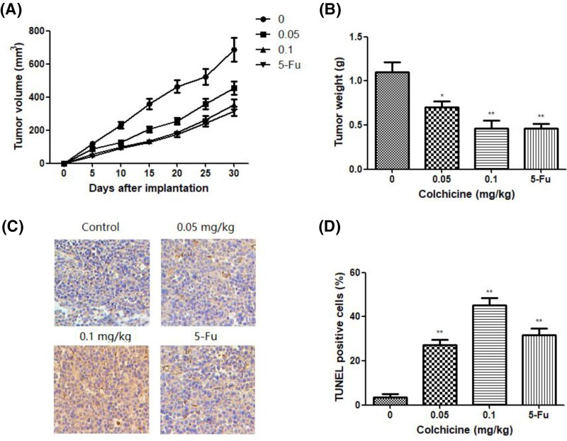 The effect of Colchicine on tumor growth and apoptosis in vivo ( A ) The antitumor effects of Colchicine on TV of xenograft model of NCI-N87 cells. ( B ) The antitumor effects of Colchicine on tumor weight of xenograft model of NCI-N87 cells. ( C ) Apoptotic cells were detected in xenograft tumor tissue using the TUNEL assay (200×). ( D ) Quantitated results of the TUNEL assay. Data are means ± S.D. ( n =10). * P