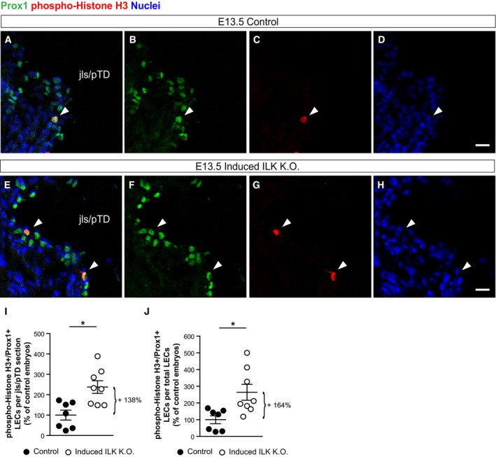 """LEC‐specific Ilk deletion confirms ILK‐controlled LEC proliferation in the jls/pTD LSM images of stained cross‐sections through the jls/pTD of an E13.5 Prox1‐Cre ERT2 ;Ilk +/+ embryo (referred to as """"control"""") and an E13.5 Prox1‐Cre ERT2 ;Ilk ∆/∆ embryo (referred to as """"induced ILK K.O.""""). Arrowheads point to phospho‐Histone H3‐positive LECs. Scale bars: 20 μm. LEC proliferation as determined by the number of phospho‐Histone H3‐/Prox1‐positive LECs per jls/pTD section in E13.5 control or induced ILK K.O. embryos ( n = 7 control and n = 8 induced ILK K.O. embryos), * P = 0.004. LEC proliferation normalised to total Prox1‐positive LECs in E13.5 control or induced ILK K.O. embryos ( n = 7 control and n = 8 induced ILK K.O. embryos), * P = 0.012. Data information: Data are presented as means ± SEM, shown as percentage of control embryos, unpaired two‐tailed Student's t ‐test."""