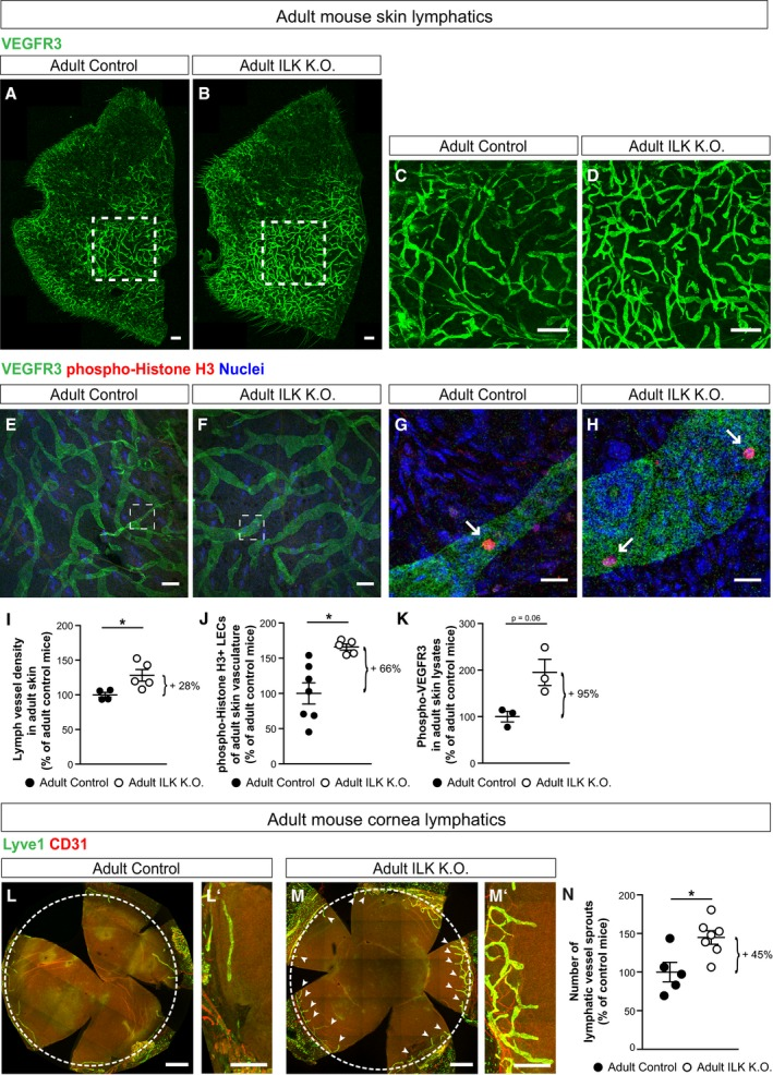 """ILK controls lymphatic vascular growth and VEGFR3 tyrosine phosphorylation in adult mice LSM images of a whole‐mount stained adult <t>Prox1‐Cre</t> ERT2 ;Ilk +/+ mouse ear (referred to as """"adult control"""") and Prox1‐Cre ERT2 ;Ilk ∆/∆ mouse ear (referred to as """"adult ILK K.O.""""), with higher magnification images indicated by dashed lines. Scale bars: 500 and 100 μm, respectively. LSM images of a whole‐mount stained adult control and ILK K.O. ear, with higher magnification images indicated by dashed lines. Arrows point to proliferating LECs. Scale bars: 100 and 20 μm, respectively. Dermal lymph vessel density as determined by VEGFR3‐positive area normalised to the total analysed area of adult control or ILK K.O. mice ( n = 4 control and n = 5 ILK K.O. mice), * P = 0.025. LEC proliferation as determined by phospho‐Histone H3‐positive LECs normalised to analysed VEGFR3‐positive area in the skin of adult control or ILK K.O. mice ( n = 7 control and n = 5 ILK K.O. mice), * P = 0.004. VEGFR3 tyrosine phosphorylation as determined by ELISA of skin lysates of adult control or ILK K.O. mice ( n = 3 mice per genotype), P = 0.062. LSM images of a whole‐mount stained adult control and ILK K.O. cornea, with detailed images on their right (L′, M′). Arrows point to lymph vessels protruding into the cornea (encircled by a dotted line). Scale bars: 500 μm and 100 μm, respectively. Number of lymph vessels in control or ILK K.O. corneas ( n = 5 and n = 7 corneas), * P = 0.02. Data information: Data are presented as means ± SEM, shown as percentage of control mice, unpaired two‐tailed Student's t ‐test."""