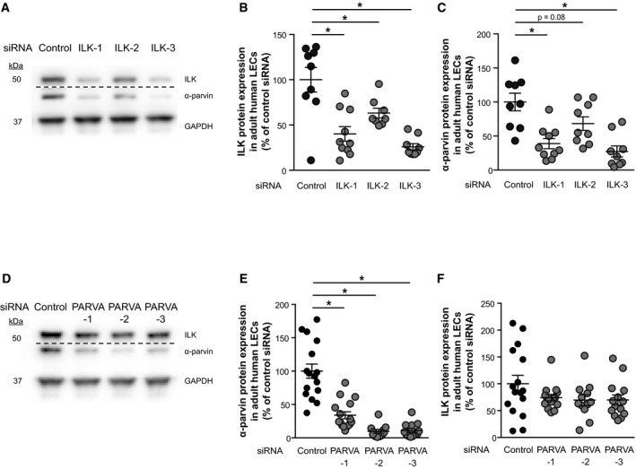 ILK regulates α‐parvin expression in adult human LECs ILK and α‐parvin protein bands in Western blots of lysates from human LECs transfected with control siRNA or ILK siRNAs (ILK1‐3). The GAPDH protein band served as a loading control. ILK protein expression normalised to GAPDH protein expression of siRNA‐transfected human LECs ( n = 9 (control and ILK‐3), n = 10 (ILK‐1) and n = 8 (ILK‐2) independent transfections), * P = 0.0001 (control versus ILK‐1 and control versus ILK‐3), * P = 0.017 (control versus ILK‐2). α‐parvin protein expression normalised to GAPDH protein expression of transfected human LEC ( n = 9 (control, ILK‐2 and ILK‐3) and n = 10 (ILK‐1) independent transfections per siRNA), * P = 0.0002 (control versus ILK‐1), P = 0.075 (control versus ILK‐2), * P = 0.0001 (control versus ILK‐3). ILK and α‐parvin protein bands in Western blots of lysates from human LECs transfected with control siRNA or α‐parvin siRNAs (PARVA1‐3). The GAPDH protein band served as a loading control. α‐parvin protein expression normalised to GAPDH protein expression of transfected human LECs ( n = 16 (control and PARVA‐1), n = 11 (PARVA‐2) and n = 14 (PARVA‐3) independent transfections per siRNA), * P = 0.0001. ILK protein expression normalised to GAPDH protein expression of transfected human LECs ( n = 16 (control), n = 15 (PARVA‐1), n = 12 (PARVA‐2) and n = 14 (PARVA‐3) independent transfections per siRNA). Data information: Data are presented as means ± SEM, shown as percentage of control siRNA, one‐way ANOVA with Dunnett's multiple comparisons test. Kruskal–Wallis test with Dunn's multiple comparisons test was additionally performed as a non‐parametric test for (B) with * P = 0.011 (control versus ILK‐1) and * P = 0.0003 (control versus ILK‐3), (C) with * P = 0.006 (control versus ILK‐1) and * P = 0.0003 (control versus ILK‐3), (E) with * P = 0.013 (control versus ILK‐1) and * P = 0.0001 (control versus ILK‐2 and control versus ILK‐3) and (F). Source data are available online fo