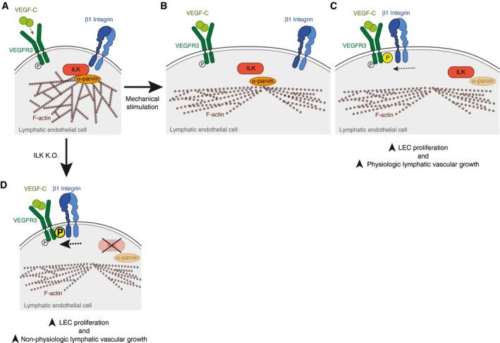 """Simplified model of mechanosensitive VEGFR3 signalling and ILK‐controlled lymphatic vascular growth In quiescent LECs, VEGFR3 and β1 integrin are physically separated. ILK directly or indirectly interacts with β1 integrin and connects it to the F‐actin cytoskeleton via intracellular proteins, such as α‐parvin, a component of the IPP complex. Upon mechanical stretch, the complex of β1 integrin and ILK (along with the entire IPP complex) transiently disrupts. This releases β1 integrin, resulting in its interaction with VEGFR3, and thus in increased VEGFR3 tyrosine phosphorylation (""""P"""" in yellow circle). As a consequence, LEC proliferation and lymphatic vascular growth are induced. The absence of ILK results in permanent interaction between VEGFR3 and β1 integrin, leading to upregulated VEGFR3 tyrosine phosphorylation (""""P"""" in yellow circle), LEC proliferation and non‐physiologic lymphatic vascular growth."""