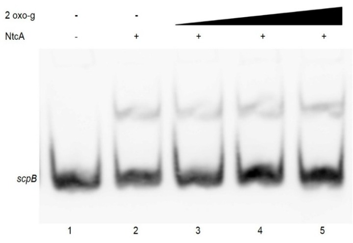 Effect of 2-oxoglutarate on NtcA binding to the scpB promoter sequence. EMSA was performed in the presence of 2 ng of a 110 bp labelled PCR fragment of the scp B promoter region , 7.5 pmol purified recombinant NtcA, 5 mM MgCl 2 and 2-oxoglutarate at concentrations of 0.2, 0.6 or 1 mM (lanes 3, 4, 5). In lane 1 labeled PCR product of the scpB promoter region was loaded without any addition.
