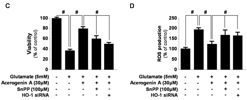 The effects of acerogenin A on heme oxygenase (HO)-1 expression ( A , B ) and acerogenin A-induced HO-1 on glutamate-induced oxidative neurotoxicity ( C ) and ROS generation ( D ). HT22 cells were incubated with indicated concentrations of acerogenin A for 12 h ( A , B ). HT22 cells were treated with 30 μM of acerogenin A in the presence or absence of 50 μM SnPP IX and HO-1 siRNA, and then exposed to glutamate (5 mM) for 12 h ( C , D ). Exposure of HT22 cells to 5 mM glutamate for 12 h to increase ROS production, followed by incubation with 10 μM of the ROS-sensitive fluorophore dichlorofluorescein (DCF) ( D ). Western blot analysis was performed, and representative blots of three independent experiments are shown. Data are presented as the mean ± SD values of three independent experiments. * p
