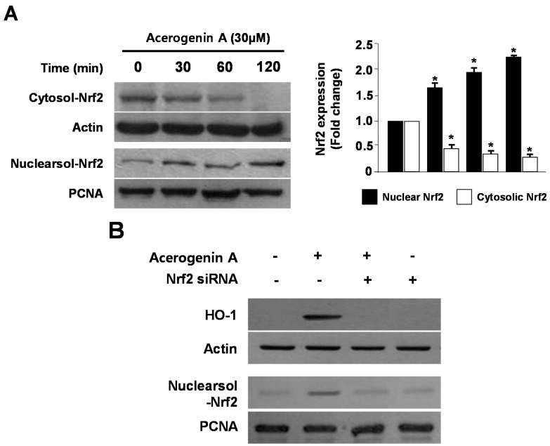 The effects of acerogenin A on the nuclear translocation of Nrf2 ( A ) and Nrf2-mediated HO-1 ( B ) in HT22 cells. HT22 cells were treated with 30 μM of acerogenin A for 0, 30, 60, and 90 min ( A ). The nuclei were fractionated from the cytosol by using PER-Mammalian Protein Extraction Buffer, as described in the Experimental Section ( A ). HT22 cells were transiently transfected with Nrf2 siRNA and then treated with 30 μM acerogenin A for 12 h ( B ). Western blot analysis was performed, and representative blots of three independent experiments are shown. Data are presented as the mean value ± SD values of three independent experiments. * p