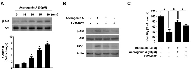 Effects of acerogenin A-induced HO-1 expression through the phosphatidylinositol 3-kinase (PI3K)/AKT cascade. HT22 cells were treated with acerogenin A (30 μM) for the indicated times ( A ). HT22 cells were pre-incubated with or without 10 μM LY294002 for 1 h and then incubated in the absence or presence of 20 μM of acerogenin A for 60 min (p-AKT) or 12 h (HO-1) ( B ). HT22 cells untreated or treated with acerogenin A (30 μM) in the presence or absence of LY294002 (10 μM) for 12 h were exposed to 5 mM glutamate for 12 h ( C ). Western blot analysis was performed, and representative blots of three independent experiments are shown. Data are presented as the mean ± SD values of three independent experiments. * p