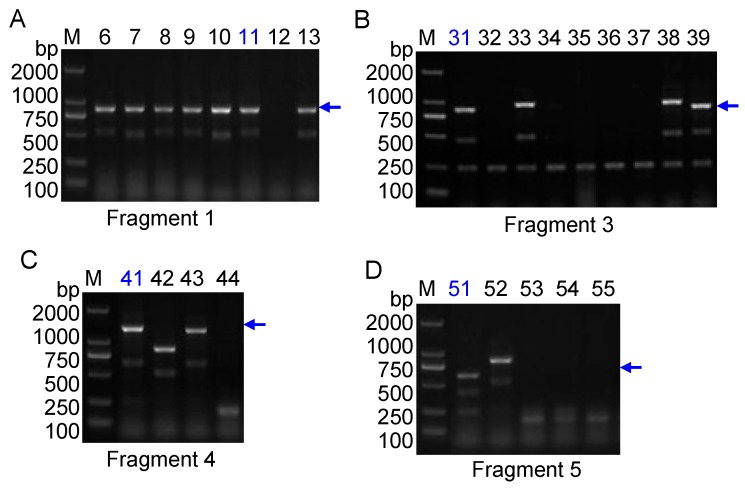 DNA cloning and identification of positive clones. ( A ) Clone identification of RAPD fragment 1. Lanes 6~12 indicate different clones; ( B ) Clone identification of RAPD fragment 3. Lanes 31~39 indicate different clones; ( C ) Clones identification of RAPD fragment 4. Lanes 41~44 indicate different clones; ( D ) Clone identification of RAPD fragment 5. Lanes 51~55 indicate different clones. The blue arrows indicate positive PCR products. Clones ZZH11, ZZH31, ZZH41 and ZZH51 in blue colors were sequencing. The blue arrows indicate expected PCR bands in size of different clones. Lane M indicates the DNA molecular weight marker DL2000 with the fragment size (bp).