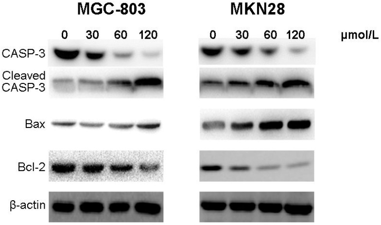 CVB-D induces expression of apoptosis-related proteins in MGC-803 and MKN28 cells. The protein bands of cleaved Caspase-3, Bax and Bcl-2 were detected using western blotting in CVB-D (0, 30, 60 and 120 µmol/L) treated MGC-803 ( left ); and MKN28 cells ( right ). β-actin was used as the control protein.