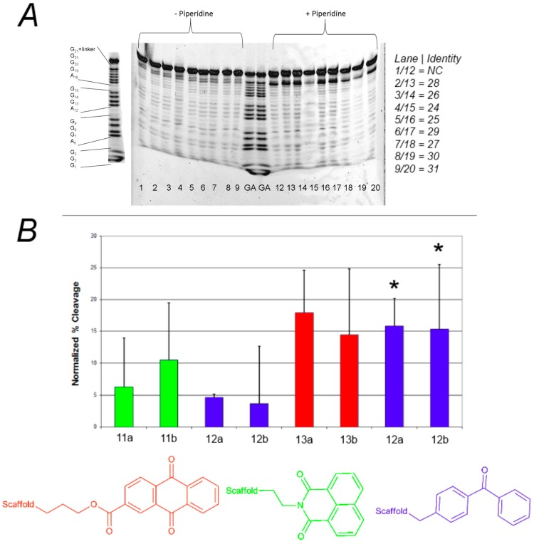 ( A ) Effect of photoreactive group on the photochemical cleavage of G-quadruplex DNA by click-based compound library members. ( A ) Example polyacrylamide gel of photocleavage reactions of F21T after 30 min UV irradiation in the presence of 500 nM click-based compound library members 11a , b ; 12a – d ; and 13a , b ; ( B ) Quantification of G-quadruplex photochemical cleavage from gel electrophoresis analysis after irradiation and piperidine/heat treatment. Unless indicated, F21T was employed as the G-quadruplex substrate. Red, green, and blue bars correspond to compounds incorporating anthraquinone, naphthalimide, and benzophenone respectively. * FcMycT photocleavage data for comparison.